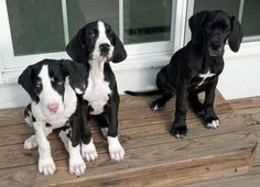 European Great Danes