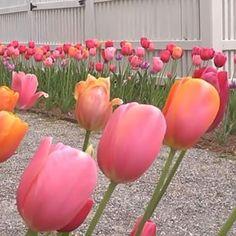Tulips of Moss Mountain. #joy #vanbloem #pallensharethebounty #tulips #mossmountainfarm