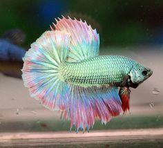 Pretty Fish, Beautiful Fish, Animals Beautiful, Colorful Fish, Tropical Fish, Aquariums, Betta Fish Types, Betta Aquarium, Beta Fish