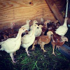 Skeptical birdies. #vt #farming #regenerativeagriculture #holisticmanagement #SoVT #organic