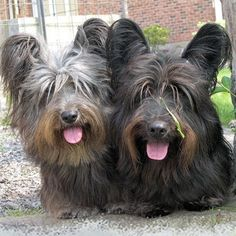 Skye_Terrier_Puppies_Pic.jpg