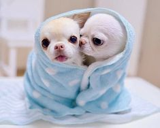 Effective Potty Training Chihuahua Consistency Is Key Ideas. Brilliant Potty Training Chihuahua Consistency Is Key Ideas. Cute Little Animals, Cute Funny Animals, Little Dogs, Tiny Puppies, Cute Dogs And Puppies, Doggies, Baby Animals Pictures, Cute Animal Pictures, Baby Chihuahua