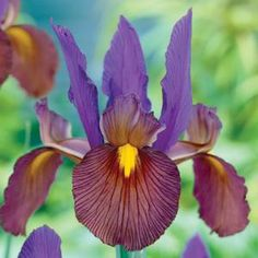 Eye of the Tiger Iris: Dutch Iris..Sultry is the best way to describe the color of this stunner. Violet-blue standards and mahogany-bronze falls make this a standout!    24 Bulbs per bag   Zones 5-8    Dutch Iris are an excellent perennial that create breathtaking late spring displays in the garden and stunning bouquets for your table. Originally hybridized around the turn of the 20th century from an Iris species native to Spain, these superb selections are showy and easily grown.