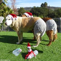 "A whole new meaning to ""Santa Baby"" #elfontheshelf #elfontheshelfideas #elfontheshelf2016 #elfontheshelf2015 #elf #dogs #funny"