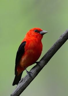 Image of: Tanager Female Scarlet Tanager explore Bird Wallpaper Most Beautiful Birds Pretty Birds All Pinterest 38 Best Birds scarlet Tanager Images Beautiful Birds Bird