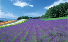lavender-field-new-furano-prince-hotel