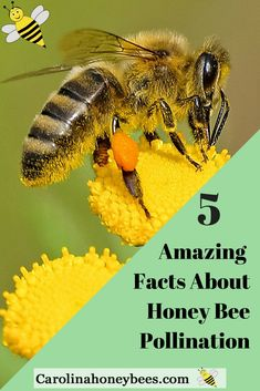 Honey Bee pollination facts you need to know. 5 Amazing facts about the role of honey bees as pollinators. Carolina Honeybees