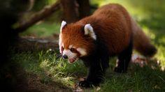 Red Panda Bear - endangered species