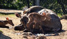 El Zoológico Benito Juárez nuevamente se convirtió en lugar de nacimiento de tres Antílopes; se trata de unos gemelos de la especie Nilgo, originarios de Asia y uno más de ...