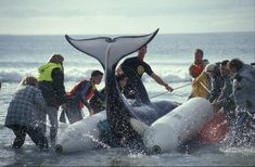 Rescue of Ben, the orca in New Zealand    Adopt a Whale or Dolphin ..