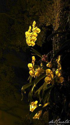 Nas ruas do Rio de Janeiro, como no Leme, orquídeas enfeitam as árvores na noites cariocas. #riodejaneiro #brasil @delcuetocia