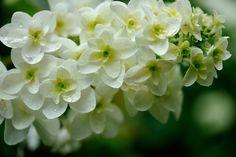 https://flic.kr/p/89TDC4 | Hydrangea quercifolia | 柏葉アジサイ 八重咲きカシワバアジサイ 'スノーフレーク'       in my garden 学名  Hydrangea quercifolia 'Snow Flake'