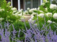 Smooth Anabelle Hydrangea, Buxus Sempervirens Boxwood, Russian Sage A. Hydrangea Landscaping, Hydrangea Garden, Landscaping Tips, Front Yard Landscaping, Kensington Gardens, Russian Sage, Limelight Hydrangea, Traditional Landscape, Windows