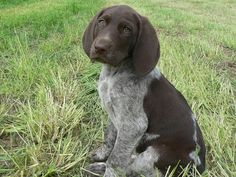 German short haired pointer..I just want to go out and get another one right now!!!!
