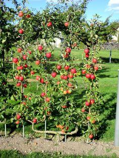 – Comment former un espalier ou une palmette. Espalier Fruit Trees, Fruit Tree Garden, Fruit Plants, Potager Bio, Potager Garden, Garden Plants, Growing Vegetables, Growing Plants, Apple Garden