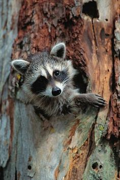 Native to North America, the raccoon possesses extremely dexterous front paws. The dense underfur of its grayish coat insulates against cold weather. Raccoons are noted for their intelligence and adaptability. The original habitats of the raccoon are deciduous forests, but due to their adaptability they have extended their range to mountainous areas, coastal marshes, and urban areas, where some homeowners consider them to be pests.