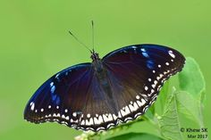 A female Jacintha Eggfly (Hypolimnas bolina jacintha) - photographed by Khew SK at  Tampines Eco Green, Singapore