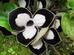 Rosto-de-panda (Asarum maximum)