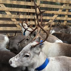 Rounding up the reindeer feels like coming home