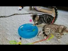 Snow Mink Boy 1 - Hazel's Boy 1 Bengal Kittens For Sale, Kitten For Sale, Cattery, Mink, Snow, Boys, Baby Boys, Sons, Human Eye