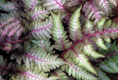 High Quality Painted Fern #2 Japanese Painted Fern