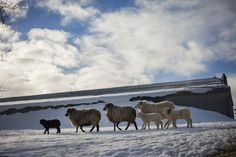 Montana's Spring Lambs - Lambing season begins in March while winter's wrath is not quite over. Credit: Rob Finch | © The Weather Channel
