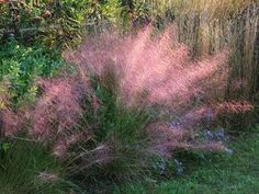 Pink Muhly Grass: Native Texas drought tolerant perennial grass. Pink Muhly forms clumps of fine, green-blue blades, topped with reddish-pink, cloud-like flower spikes in fall. Good xeriscape plant. Beautiful, soft texture for formal or informal gardens. Full sun. Grows 3-4 ft. tall. Zones 6-10.