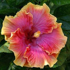 Tropical Hibiscus 'Bienvenue'