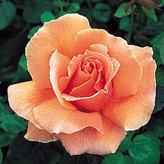Just Joey - Hybrid Tea - Elegant buds of coppery-orange veined with red. The opening petals are attractively waved and the flowers remain pleasing to the end. Free and continuous flowering. Rather sprawling growth. A good cut flower. Fragrant. 3 ft.