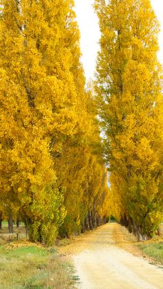 Fabulous yellow poplars (Alexandra, South Island, New Zealand) [photographer unknown]