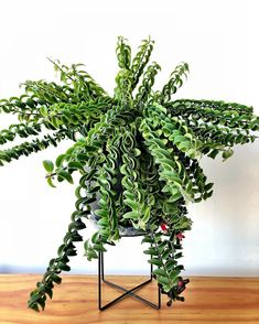 How to grow a lipstick plant care guide. Learn how much light, water, and fertilizer a lipstick plant requires. learn answers to lipstick plant care questions. Foliage Plants, Potted Plants, Garden Plants, Indoor Plants, Cactus Plants, Cactus Decor, Cactus Art, Unique Plants, Exotic Plants