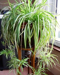 House Plants 361554676334192777 - chlorophytum plante qui aime l'ombre Source by cmmnteconomiser Outdoor Plants, Garden Plants, Outdoor Gardens, Patio Plants, Garden Soil, Garden Table, Outdoor Landscaping, Sun Plants, Tropical Plants