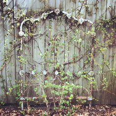 Wrought iron headboard with climbing hydrangea vine.