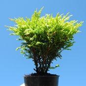 Limeglow Juniper - Juniperus horizontalis 'Limeglow'