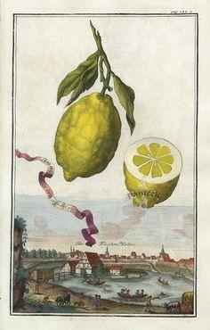 Limon Cornagione - J. C. Volckamer. Antique botanical citrus illustration.