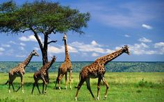awesome Cool Giraffes HD