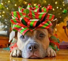 Dog Christmas Pictures, Christmas Animals, Christmas Photo Cards, Christmas Dog, Cute Animals Puppies, Cute Baby Animals, Funny Animals, Animals Dog, Cute Animal Videos