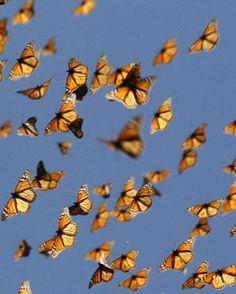 Monarch Butterflies Flying