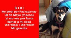 K I K I Me perdi por Pachacamac 28 de Mayo (macho) si me ves por favor llamar a mi casa 961748537 / 961758781 Mil gracias  https://www.facebook.com/photo.php?fbid=10153517359256756&set=a.10151216588166756.512412.755156755&type=1&theater