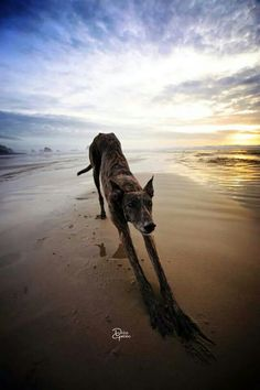 Beautiful Dolce Gambino at the beach.  #greyhounds #sunset
