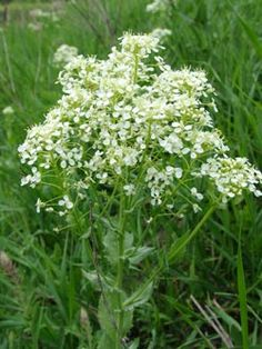vesnovka obecná - Cardaria draba | Květena České republiky - plané rostliny ČR…