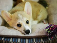 corgiaddict:    Whenever Max does anything he shouldn't, we get this look. We cannot resist the DAAWWWWW!!!  submitted by fruitlewps