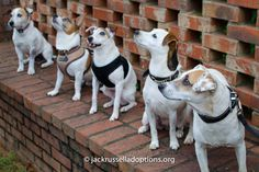 Some of our current/former GA JRT rescues had a big old BBQ party yesterday! Look at these well-behaved champs, including (from left): Cobb (in foster care), Carson (adopted), Isabella (adopted), Isis (hostess) and Chad (foster care).