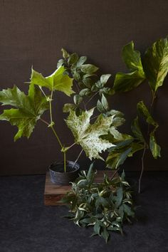 Above: (Upper Left) A Platanus x acerifloia 'Suttneri' -a Ulmus carpinifolia 'Variegata' (Middle) ; a Magnolia x 'Fran Smith' (Right) Shown at bottom, Acer truncatum 'Akikaze Nishiki.'
