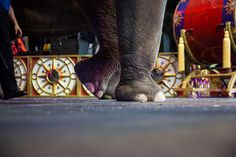 BROOKLYN 2/26/2016 Elephants went through their paces before a Ringling Bros. and Barnum & Bailey circus. The circus retired its elephant act in May. Todd Heisler/The New York Times