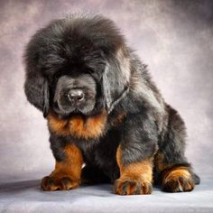 Discover The Big Mastiff Dogs And Kids Mastiff Breeds, Mastiff Puppies, Giant Dog Breeds, Large Dog Breeds, Big Dogs, Cute Dogs, Dogs And Puppies, Dogue Du Tibet, Tibetan Mastiff Dog
