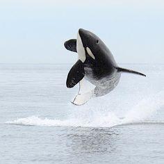 Orca explosion