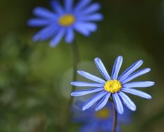 Blue Daisy Plant Care: Tips For Growing Felicia Daisy Plants - Felicia daisy (Felicia amelloides) is a bushy, South African native valued for its bright masses of miniature blooms. Felicia daisy flowers consist of showy, sky blue petals and bright yellow centers. Butterflies are attracted to the vivid blue blooms. This hardy plant revels in hot, dry climates and doesn't perform well in wet soil or humidity.