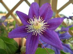 Clematis hybrids group ... www.clematis.be...  Myojo