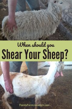 Knowing when to shear your sheep is an important part of sheep management, especially if you have your sheep on pasture! Let me help you decide the best time for you to get to shearing those sheep! Raising Farm Animals, Raising Goats, Pet Sheep, Sheep Farm, Farming Life, Goat Farming, Sheep House, Sheep Shearing, Sheep Breeds